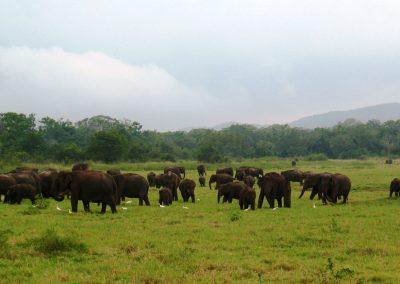 Парк дикої природи Minneriya Elephants